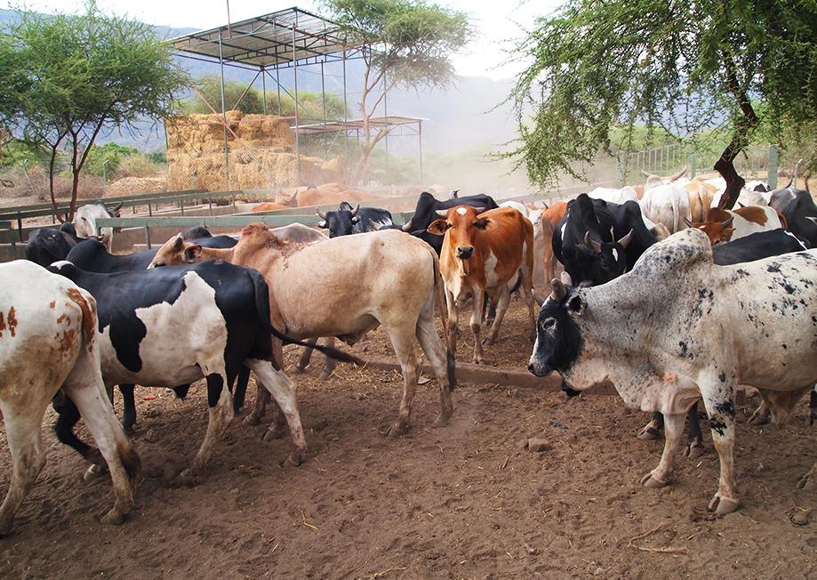Maasai Stoves & Solar Feedlot link